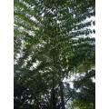 ต้นเต่าร้างยักษ์น่านเจ้า