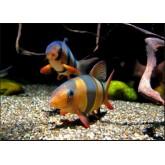 ปลาหมูอินโด