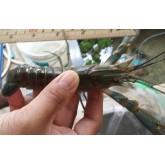 กุ้งพ่อพันธุ์ ขนาด 5 นิ้ว