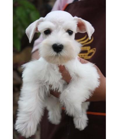 ลูกสุนัขมิเนเจอร์ ชเนาเซอร์ เพศผู้ สีขาว เชือกคอสีม่วง