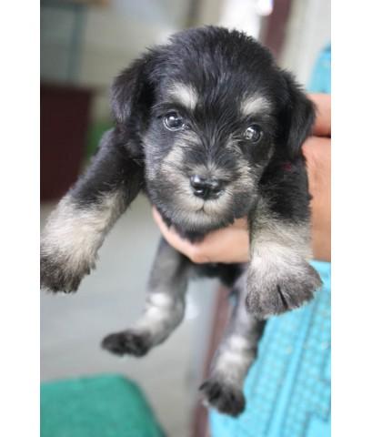 ลูกสุนัขมิเนเจอร์ ชเนาเซอร์ เพศเมีย สี Black and Silver เชือกคอสีแดง