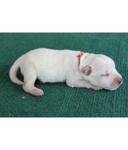 ลูกสุนัขมิเนเจอร์ ชเนาเซอร์ เพศผู้ สีขาว เชือกคอสีน้ำตาล