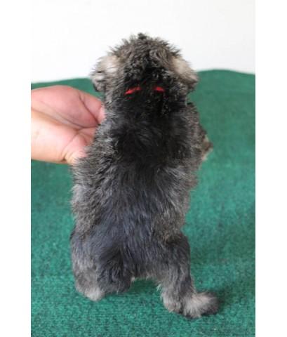 ลูกสุนัขมิเนเจอร์ ชเนาเซอร์ เพศผู้ สี Salt and Pepper เชือกคอสีแดง