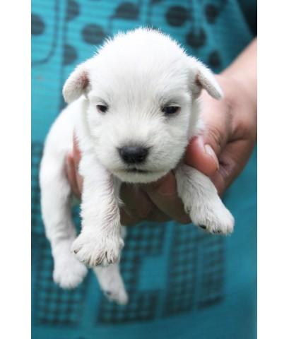 ลูกสุนัขมิเนเจอร์ ชเนาเซอร์ เพศผู้ สีขาว เชือกคอสีเขียว