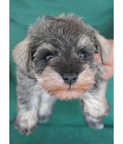ลูกสุนัขมิเนเจอร์ ชเนาเซอร์ เพศเมีย สี Salt and Pepper เชือกคอสีส้ม