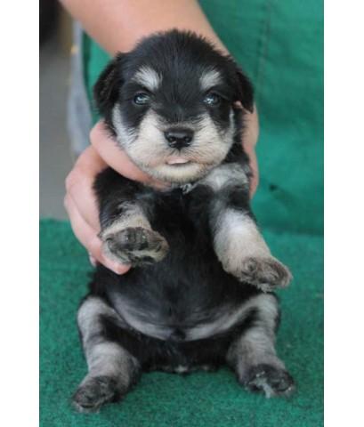 ลูกสุนัขมิเนเจอร์ ชเนาเซอร์ เพศผู้ สี Black and Silver เชือกคอสีชมพู