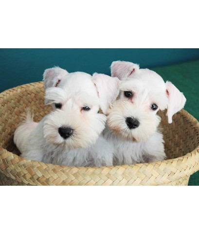 ลูกสุนัขมิเนเจอร์ ชเนาเซอร์ เพศผู้  สี White   เชือกคอสีน้ำตาล