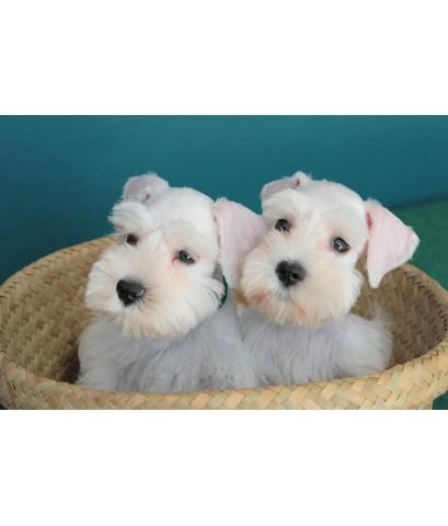 ลูกสุนัขมิเนเจอร์ ชเนาเซอร์ เพศผู้  สี White   เชือกคอสีเขียว