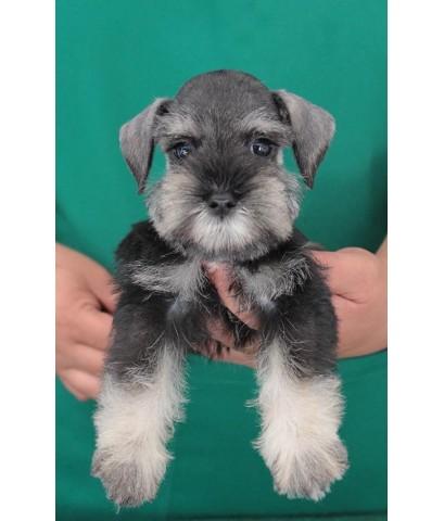 ลูกสุนัขมิเนเจอร์ ชเนาเซอร์ เพศเมีย  สี Saltpepper   เชือกคอสีเขียว