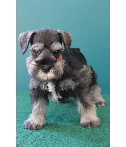 ลูกสุนัขมิเนเจอร์ ชเนาเซอร์ เพศเมีย  สี Saltpepper   เชือกคอสีแดง