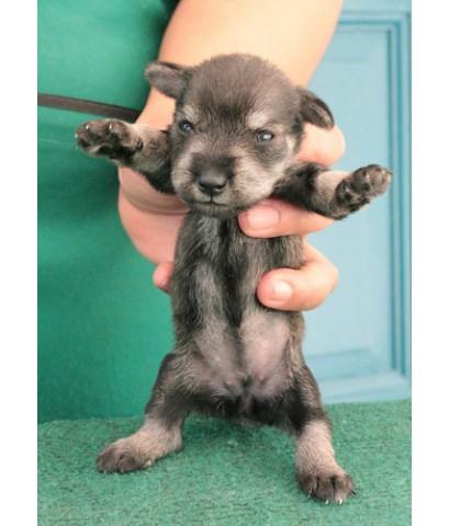 ลูกสุนัขมิเนเจอร์ ชเนาเซอร์ เพศเมีย  สี Salt&Pepper   เชือกคอสีแดง