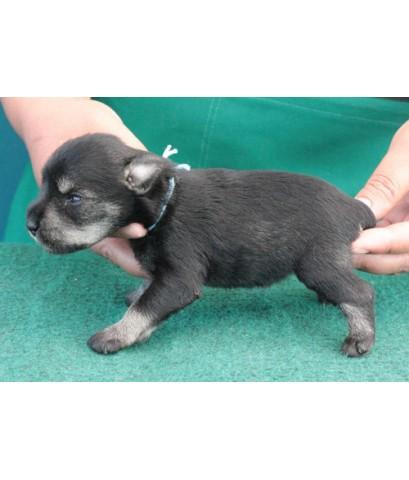 ลูกสุนัขมิเนเจอร์ ชเนาเซอร์ เพศเมีย  สี SaltPepper   เชือกคอสีฟ้า