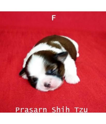ลูกสุนัขชิสุเกิดวันที่ 18/09/2562