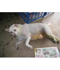 ร.ต.ท.เจริญ นำสุนัขชื่อทองขาวมารอรักษาตัวที่กทม.