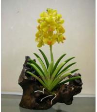 กล้วยไม้- แวนด้า M