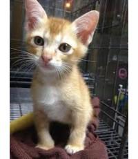 ลูกแมวพันธุ์ไทย