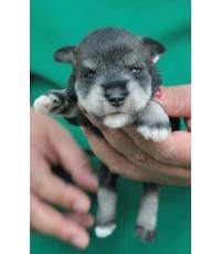 ลูกสุนัขมิเนเจอร์ ชเนาเซอร์ เพศเมีย  สี Salt  pepper  เชือกคอสีชมพู