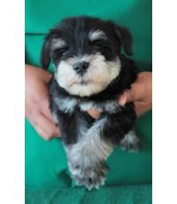 ลูกสุนัขมิเนเจอร์ ชเนาเซอร์ เพศผู้  สี BlackSilver  เชือกคอสีเขียวสะท้อนแสง