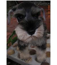 ลูกสุนัขมิเนเจอร์ ชนาเซอร์ เพศผู้ สี Salt & pepper (ลูกของมะละกอ)