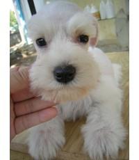 ลูกสุนัขมิเนเจอร์ ชเนาเซอร์ เพศเมีย สีขาว (เชือกคอม่วง)