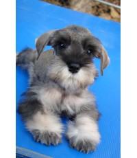 ลูกสุนัขมิเนเจอร์ ชนาเซอร์ เพศผู้ เชือกคอสีฟ้า