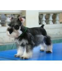 ลูกสุนัขมิเนเจอร์ ชเนาเซอร์ เพศเมีย สี Salt &Pepper เชือกคอสีเขียว