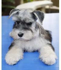 ลูกสุนัขมิเนเจอร์ ชนาเซอร์ เพศเมีย สี Salt & Pepper เชือกคอสีม่วงอ่อน