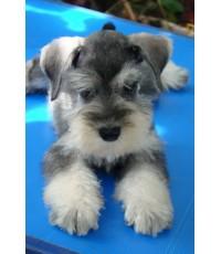 ลูกสุนัขมิเนเจอร์ ชเนาเซอร์ เพศผู้ สี Salt & Pepper