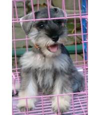 ลูกสุนัขมิเนเจอร์ ชเนาเซอร์ เพศเมีย สี Salt Pepper เชือกคอสีส้ม