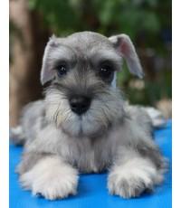 ลูกสุนัขมิเนเจอร์ ชเนาเซอร์ เพศเมีย สี Salt Pepper (เชือกคอสีส้ม)