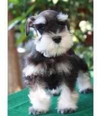 ลูกสุนัขมิเนเจอร์ ชเนาเซอร์ เพศผู้ สี Black silver