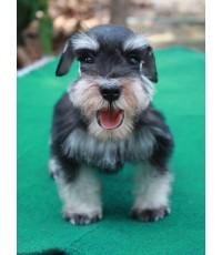 ลูกสุนัขมิเนเจอร์ ชเนาเซอร์ เพศผู้ สี Black and Silver เชือกคอสีแดง