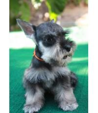 ลูกสุนัขมิเนเจอร์ ชเนาเซอร์ เพศผู้ สี Salt and Pepper เชือกคอสีส้ม