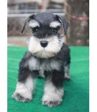 ลูกสุนัขมิเนเจอร์ ชเนาเซอร์ เพศเมีย สี Black and Silver เชือกคอสีม่วง