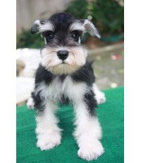 ลูกสุนัขมิเนเจอร์ ชเนาเซอร์ เพศเมีย สี Black and Silver เชือกคอสีเขียวสะท้อนแสง