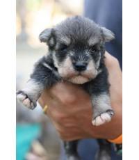 ลูกสุนัขมิเนเจอร์ ชเนาเซอร์ เพศเมีย สี Salt and Pepper เชือกคอสีแดง
