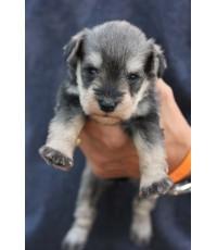 ลูกสุนัขมิเนเจอร์ ชเนาเซอร์ เพศเมีย สี Salt and Pepper เชือกคอสีน้ำตาล