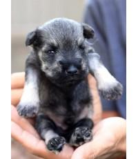 ลูกสุนัขมิเนเจอร์ ชเนาเซอร์ เพศผู้ สี Salt and Pepper เชือกคอสีขาว