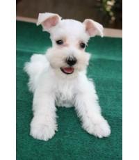 ลูกสุนัขมิเนเจอร์ ชเนาเซอร์ เพศผู้ สีขาว เชือกคอสีน้ำเงิน