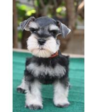 ลูกสุนัขมิเนเจอร์ ชเนาเซอร์ เพศผู้ สี Salt and Pepper เชือกคอสีน้ำตาล