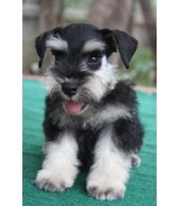 ลูกสุนัขมิเนเจอร์ ชเนาเซอร์ เพศผู้ สี Black and Silver เชือกคอสีขาว