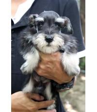 ลูกสุนัขมิเนเจอร์ ชเนาเซอร์ เพศผู้ สี Black and Silver เชือกคอสีฟ้า