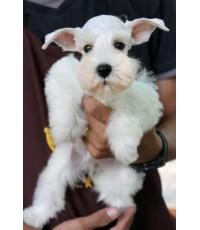 ลูกสุนัขมิเนเจอร์ ชเนาเซอร์ เพศเมีย สี ขาว เชือกคอสีเขียว
