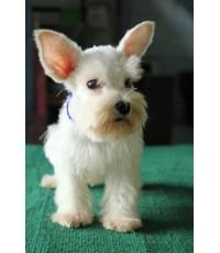 ลูกสุนัขมิเนเจอร์ ชเนาเซอร์ เพศผู้ สีขาว เชือกคอสีส้ม