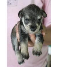 ลูกสุนัขมิเนเจอร์ ชเนาเซอร์ เพศเมีย สี Salt and Pepper เชือกคอสีม่วง