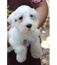 ลูกสุนัขมิเนเจอร์ ชเนาเซอร์ เพศเมีย สีขาว เชือกคอสีฟ้า