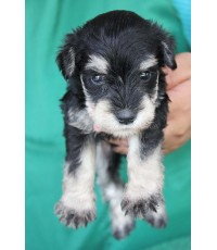 ลูกสุนัขมิเนเจอร์ ชเนาเซอร์ เพศผู้ สี่ Black and Silver เชือกคอสีชมพู