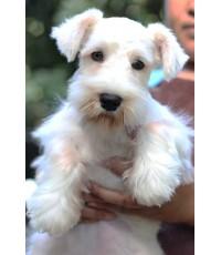 ลูกสุนัขมิเนเจอร์ ชเนาเซอร์ เพศผู้ สี ขาว เชือกคอสีน้ำตาล