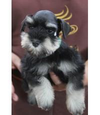 ลูกสุนัขมิเนเจอร์ ชเนาเซอร์ เพศเมีย สี Black and Silver เชือกคอสีเขียว