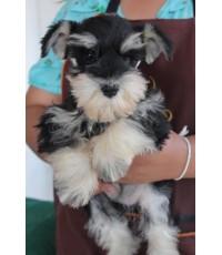 ลูกสุนัขมิเนเจอร์ ชเนาเซอร์ เพศเมีย สี Black and Silver เชือกคอสีฟ้า